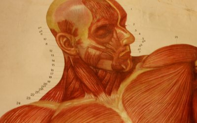 Anatomical Muscle Chart