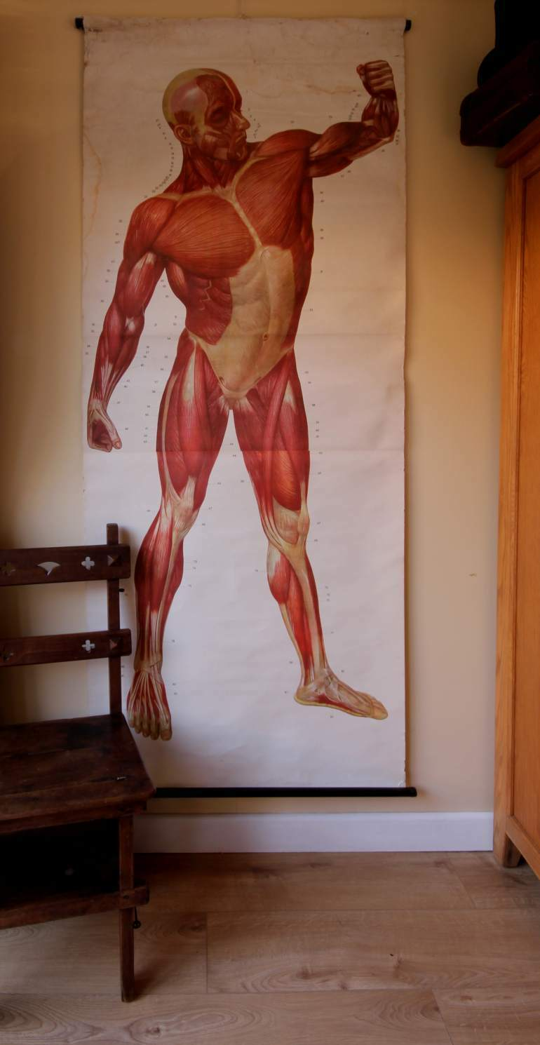 Vintage Anatomical Human Muscle Body Wall Chart Male Anatomy Poster
